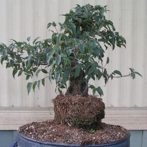 bonsai_91109_002