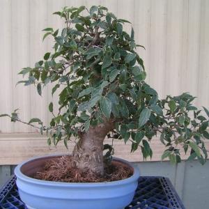 bonsai_91109_014
