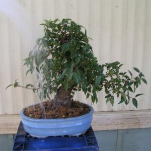 bonsai_91109_025