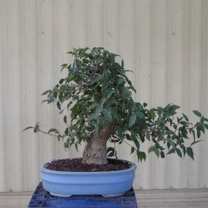 bonsai_91109_016