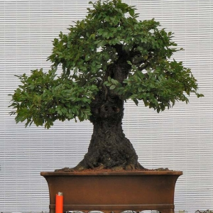 Large Cork Bark Elm