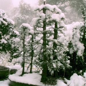 snowy_redwoods
