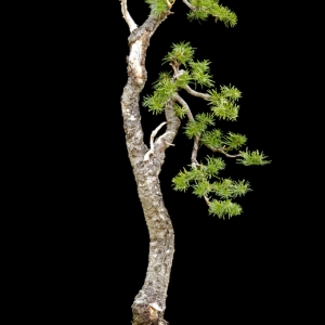 Sub-Alpine Fir