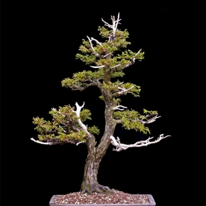 Dwarf Threadbranch False Cypress