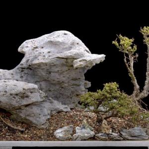 Hokkaido Chinese Elm & Limestone Penjing