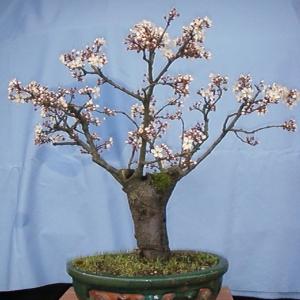 "Prunus Cerasifera ""Pissardi"""