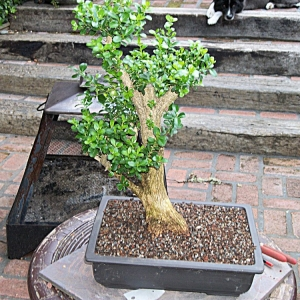 Collected Boxwood..Urban Yamadori
