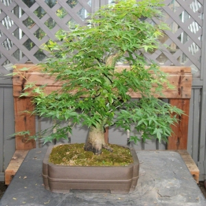 Maple just before Defoliation