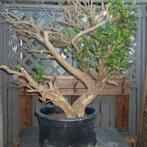 Big Urban Yamadori Boxwood