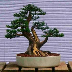 Taxus Cuspidata - Yew