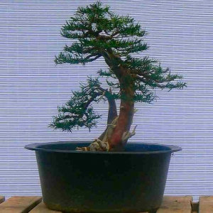 Taxus Bacatta - Yew