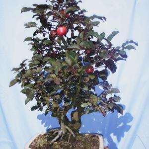 Prunus Pissardi