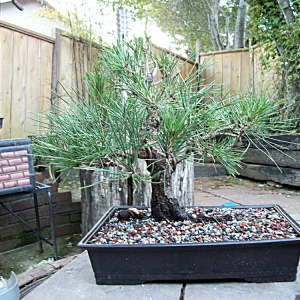 First ever Black pine