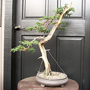 Needle Juniper back side