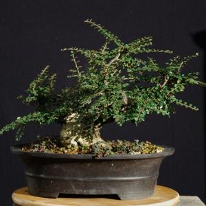 Cotoneaster horizontalis development 4