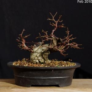 Cotoneaster horizontalis development 5