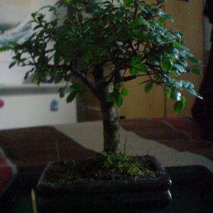 Ulmus Parvifolia.