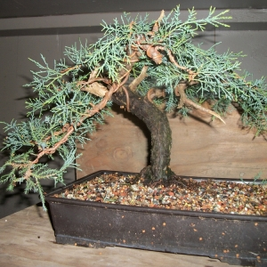 First Ever Juniper
