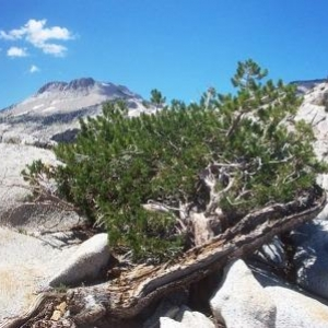 Trees in nature, Sierra Nevada Mountains