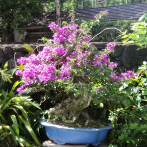 better bougainvillea
