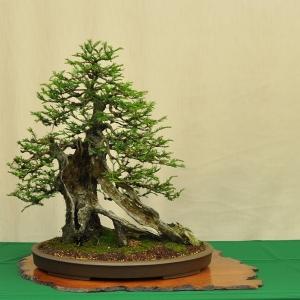 Bob_Shimon_coastal_redwood