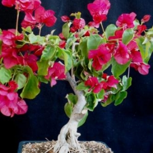 Bougainvilla, exposed roots