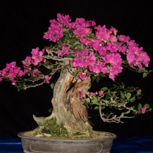 hot pink bougainvillea (cont)