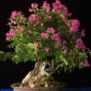 #2 purple bougainvillea