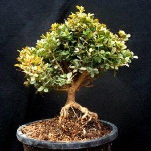 Boxwood, exposed root,