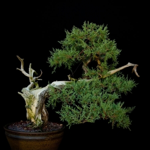 Rocky_Mountain_Juniper