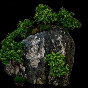Kingsville_boxwood_rock_planting