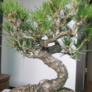 Korean 2 needle pine