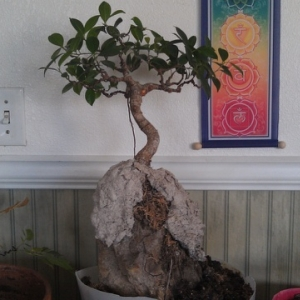 Retusa root over rock