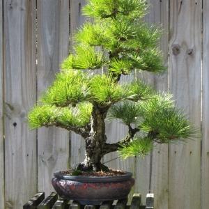 Corkbark Japanese Black Pine, Kyokko Yatsabusa