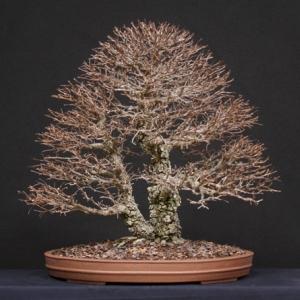 "Corkelm, ""Anniversary Tree"""