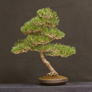 Black Pine 1