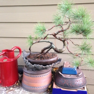 """Dali"" Eastern White Pine with new pot"