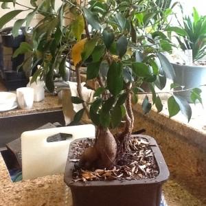 Ficus Triplets