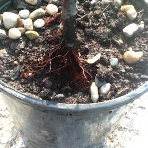 Peach Tree Borer