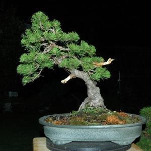 Mugo Pine restyle