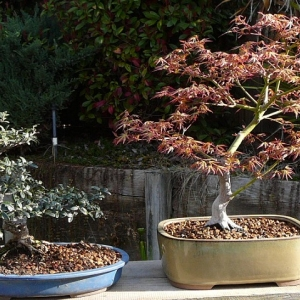 Olive and Japanese Maple