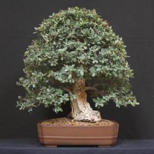 Big Cork Oak