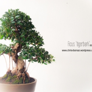 Ficus Tigerbark