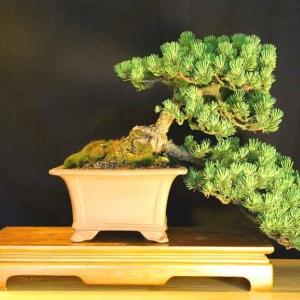 Mugo Pine: Pinus Mugo Mugus