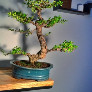 Fukien Tea Tree 34 years old