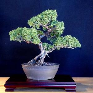 Juniperus Chinensis Shimpaku:  Shimpaku Juniper