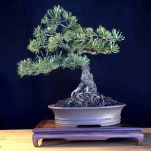 Pinus Mugo Mugus