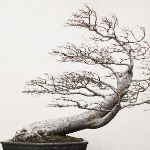 Voss-bonsai12