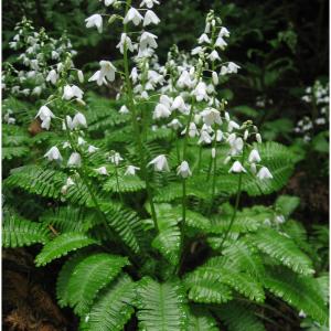 Woodland Poppy - Pteridophyllum Racemosum - Kusamono Gardens (3)