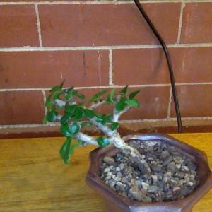 Fukien Tea Tree 1
